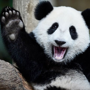 Volunteer at a Panda Reserve in Chengdu, Sichuan!